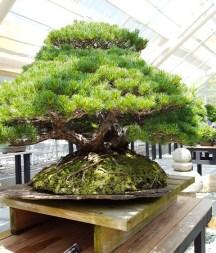 japanese white pine 95 tuôỉ