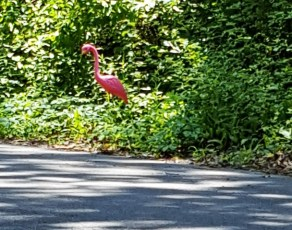Một con hồng hạc đi lạc.