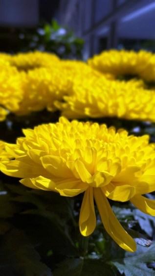 Đi bộ trong hành lang nhà kiếng thấy người ta đã chưng hoa cúc