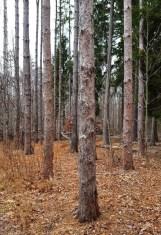 Rừng thông đứng ngay hàng