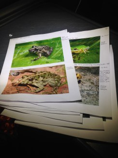 Swotting up on my frog and salamander species identification ahead of the trip. I needn't have worried as Spring knew them by sight!