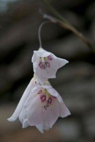 Dierama seedling