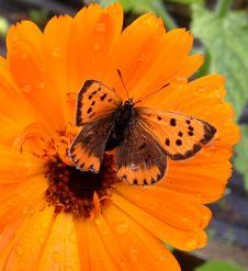 Butterfly on calendula