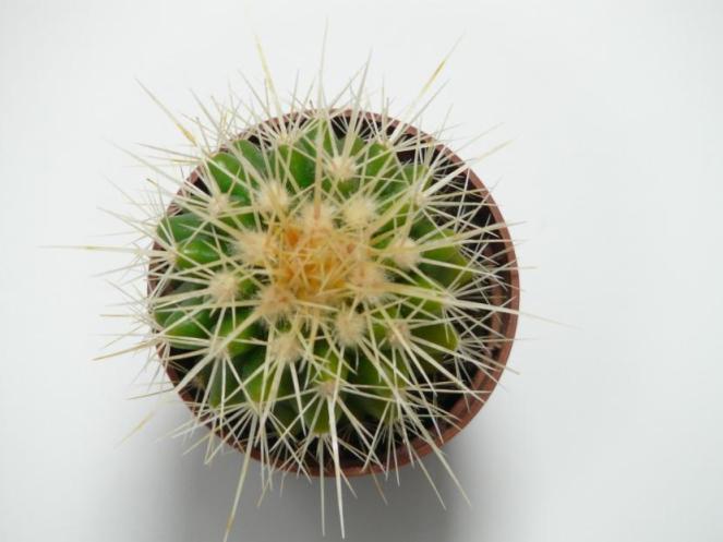 Echinocactus grusonii en maceta
