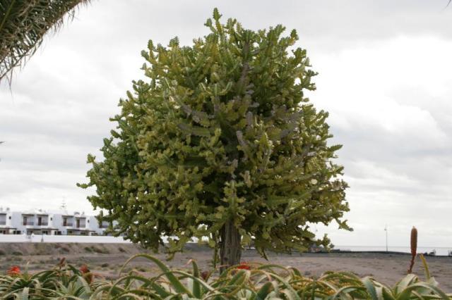 Árbol de Euphorbia lactea