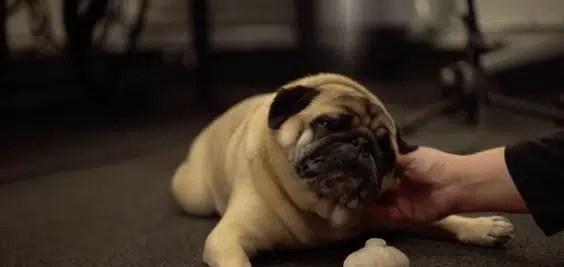 Aqui está Buddy, o adorável pequeno Pug que (provavelmente) dá voz a alienígenas em Halo Infinite