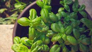 Basilico cibi senza glutine ricette