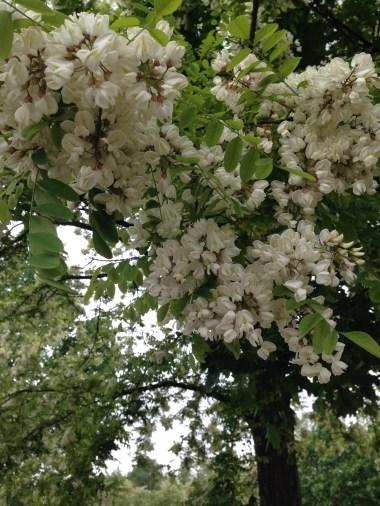 Cascina Sora - Acacia in Fiore