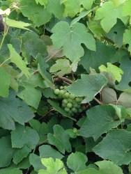 Giovanni Caputo - Frutteto L'uva Americana
