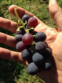 Orto Giovanni Caputo - L'uva fragola