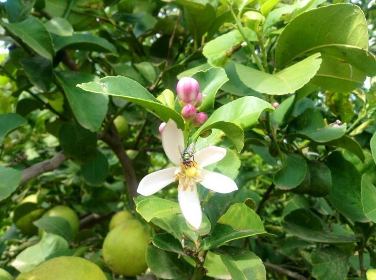 fiori limoni