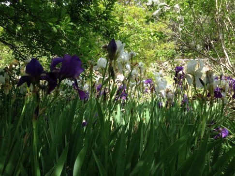 Iris dell'Architetto - Bianche e blu