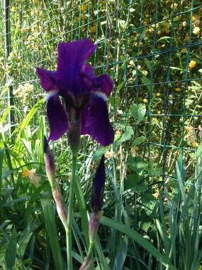 Turconi - Iris