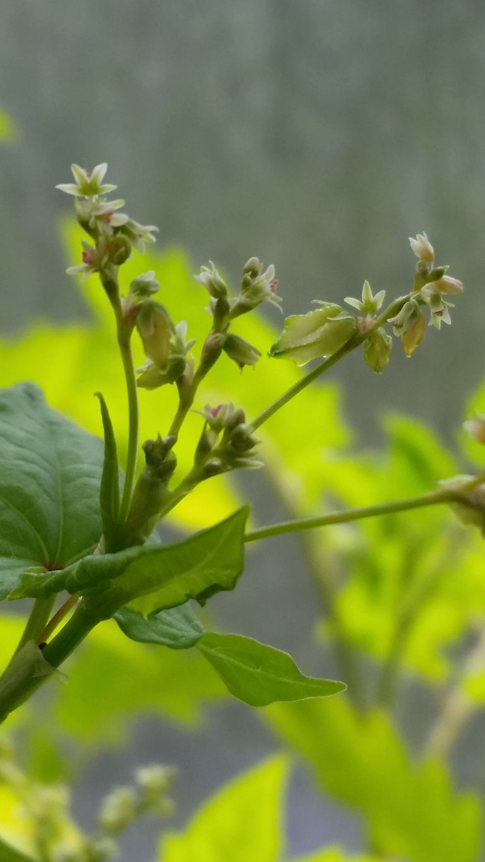 Grano Saraceno - La fioritura