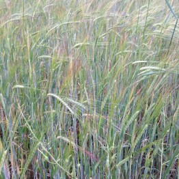 Raetia - Cereali a Giugno (2)