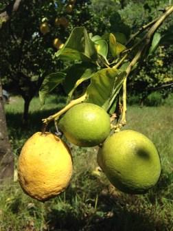 Fondazione Alario - Limoni di Due Stagioni Diverse