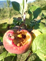 Frutteto Giovanni Caputo - Vespone dentro la Mela