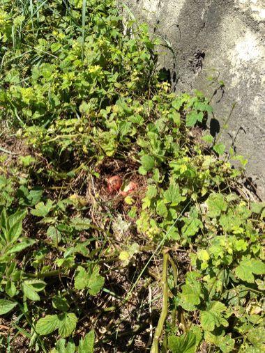 Raetia Biodiversità Alpine - Patate Sotto la Paglia Patata Rosewall