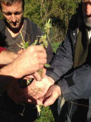 Agriturismo Prestello - Raccolta dei Semi di Amaranto tra il Mais