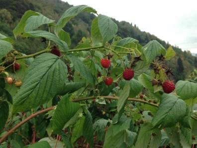 Non Solo Piccoli Frutti - I Lamponi 1