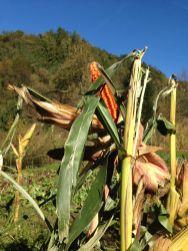 Agriturismo Prestello - Campo Mais Pannocchia Gialla