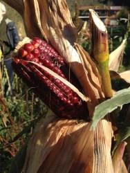 Agriturismo Prestello - Campo Mais Pannocchia Rosso Scuro