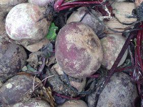 Disposizioni per la tutela e la valorizzazione della biodiversità agraria e alimentare - Barbabietole
