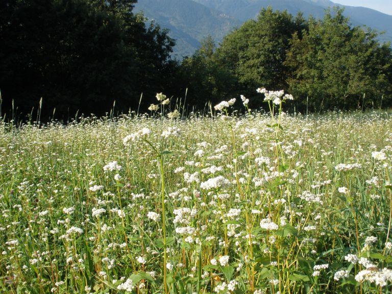 Grano Saraceno da Raetia Biodiversità AlpinaProcedimento adottato: Dopo avere mietuto l' orzo abbiamo rastrellato la paglia rimasta in campo formando delle andane, abbiamo seminato grano saraceno quindi ricoperto il terreno con la paglia.
