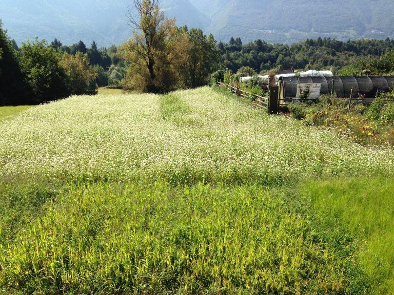 miscuglio-di-grano-saraceno-da-raetia-biodiversita-alpine