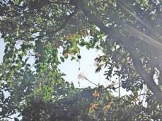 Buah Baduyut ngagantung dina areuyna anu ngarambat dina tangkal