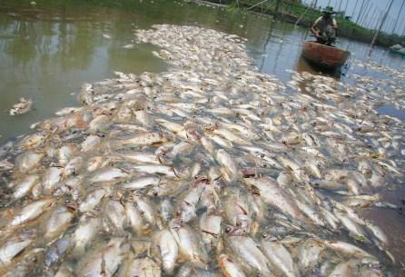 MALANG, 24/9 - TERCEMAR. Seorang nelayan membuang ikan nila yang mati di tambak jaring sekat miliknya di Waduk Karangkates, desa Sukowilangun, Kalipare, Malang,. Jawa Timur, Rabu (24/9). Kematian ribuan ikan budidaya yang membuat nelayan di kawasan itu rugi hingga ratusan juta rupiah tersebut diduga akibat menurunnya kadar oksigen dalam air karena tercemar limbah pabrik. Foto ANTARA/Ari Bowo Sucipto/Koz/pd/08.