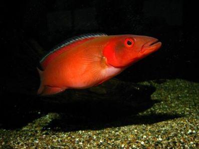 Atabapo Pike Cichlid