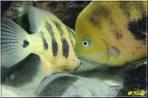 Cincelichthys bocourti 10