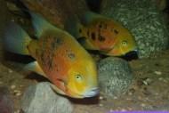 Cincelichthys bocourti 14