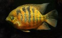 Cincelichthys bocourti 19