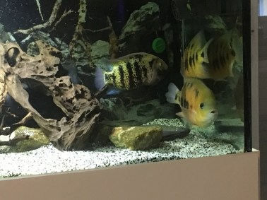 Cincelichthys bocourti 2