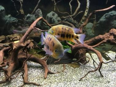 Cincelichthys bocourti 3