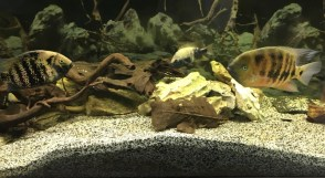 Cincelichthys bocourti 4