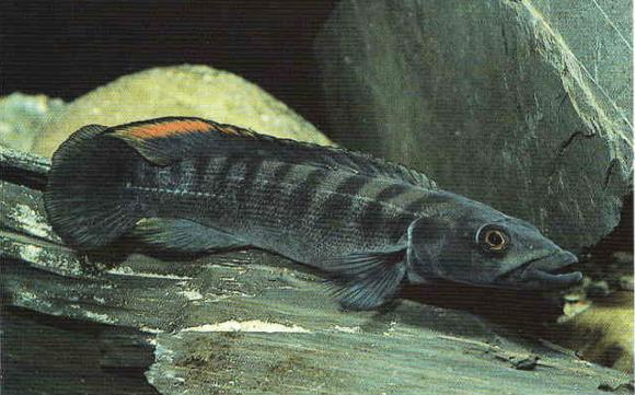 Crenicichla cametana Steindachner, 1911 2