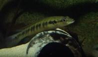 Crenicichla sp. belly crawler 9