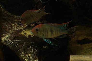 Geophagus sp Read Head Tapajos