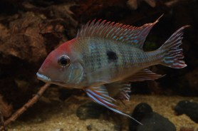 Geophagus sp Read Head Tapajos 3