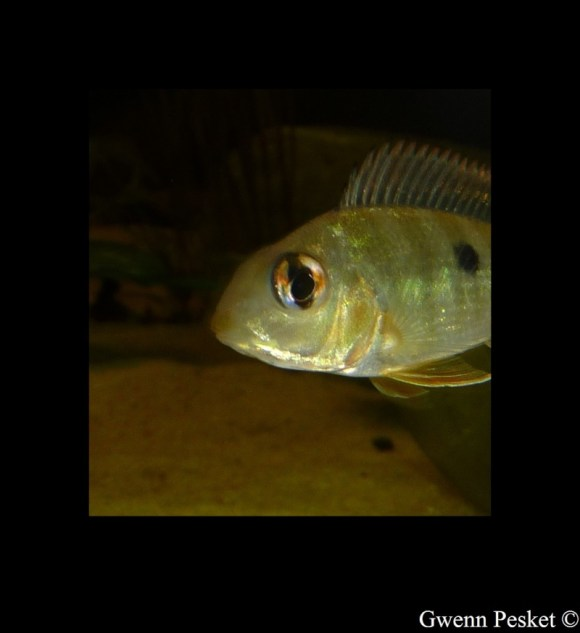 Geophagus sp Read Head Tapajos GP1