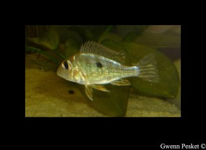 Geophagus sp Read Head Tapajos GP2