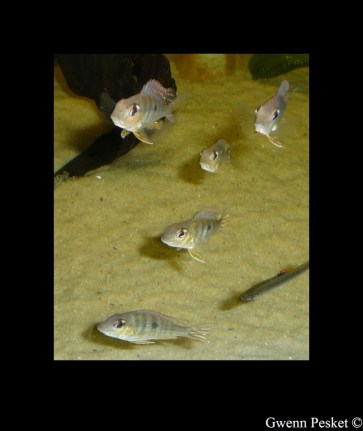 Geophagus sp Read Head Tapajos GP3
