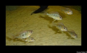 Geophagus sp Read Head Tapajos GP4