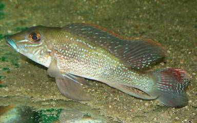 Retroculus cf. Lapidifer Tocantins Brasil Rio Tocantins sauvage 12