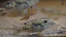 Retroculus cf. Lapidifer Tocantins Brasil Rio Tocantins sauvage 5