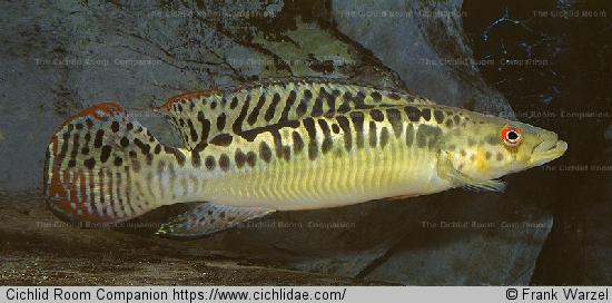 Crenicichla tigrina (4)