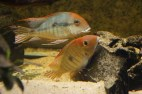 Geophagus sp. Read Head Tapajos F1 10